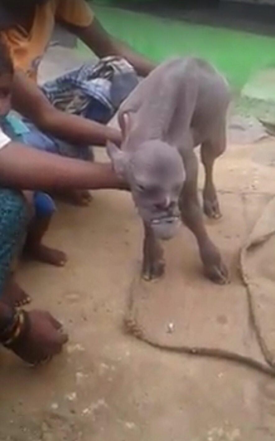 Koza, która przyszła na świat w indyjskiej wiosce