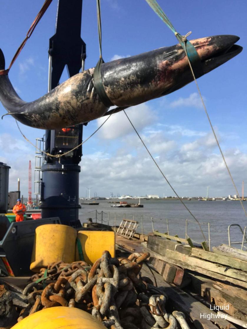 Wydobycie martwego wieloryba z Tamizy