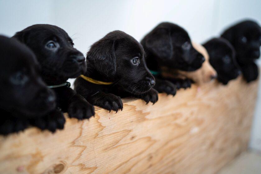 Suczka Bella urodziła 14 labradorów