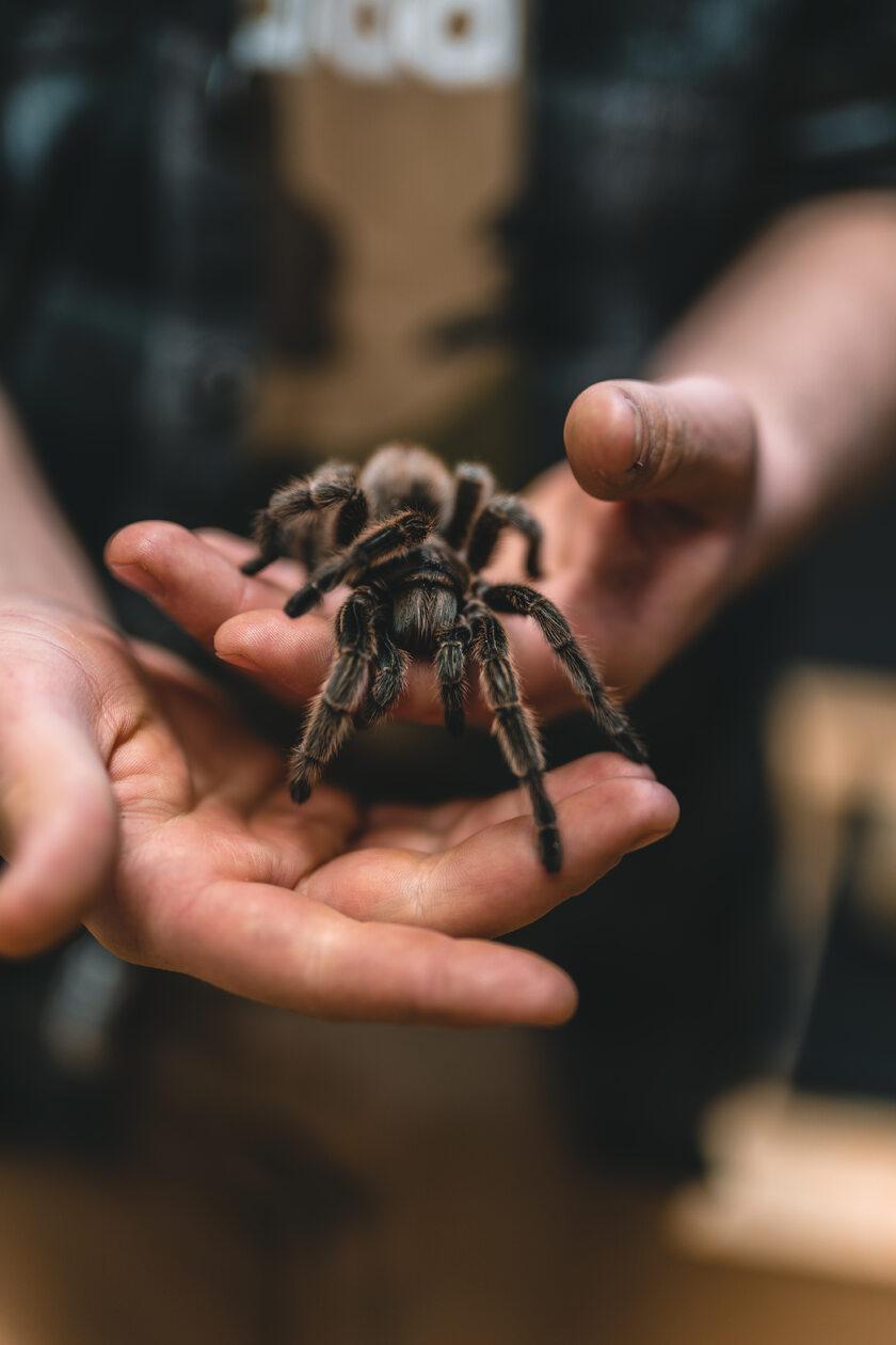 Jadowity pająk