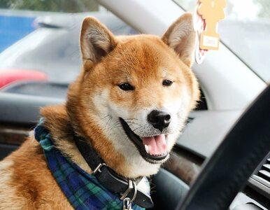 Ten pies jest bohaterem memów i śmiesznych filmików. Na czym polega jego...