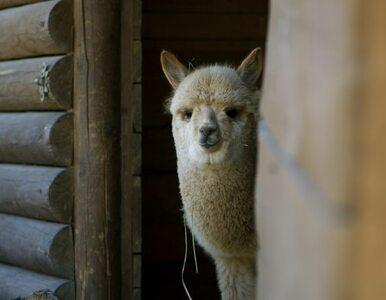 Z zoo skradziono lamy. Na zlecenie