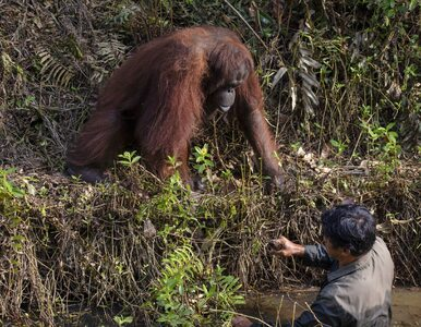Orangutan wyciąga pomocną dłoń do człowieka. Piękna scena uwieczniona na...