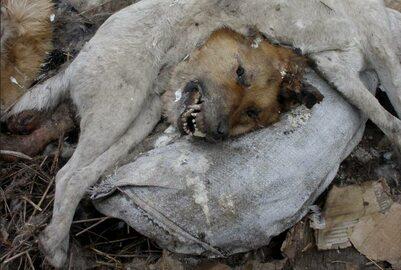 Mordowanie psów na Ukrainie