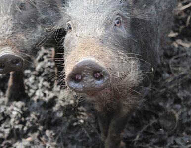 Dziki zarażone ASF znaleziono pod Warszawą. Wirus przekroczył Wisłę