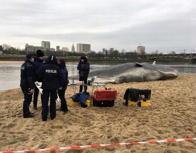 Wieloryb na plaży w Warszawie. Wcześniej pojawiał się w innych miastach