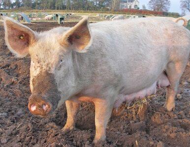 Jedzcie świnie! To lepsze od Viagry