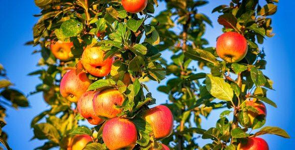 Jabłka – ile o nich wiesz?