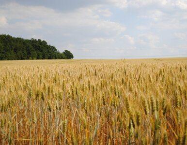 PiS alarmuje: rząd chce nas karmić żywnością modyfikowaną genetycznie